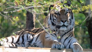 Zambar the Amur tiger enjoying the warm weather