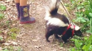 Missing skunk