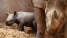 Mother and baby rhinos