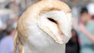 Three times more Barn Owls perished due to cold snap last year