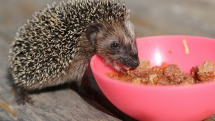The number of hedgehogs are disappearing as fast as the tiger - dropping from 36 million in 1950 to just one million