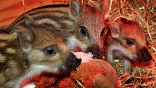 Newborn wild boar piglets,at Whipsnade Zoo in Bedfordshire