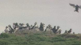 Puffins on the Farne Islands.