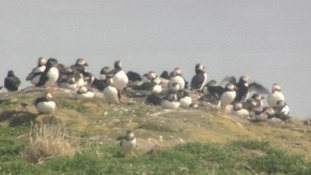 Rangers are counting puffins to find the exact numbers of breeding pairs.
