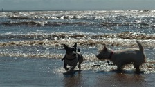 Jack Russell and West Highland White playing in the surf at Crosby