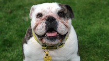 Before & after: the Bridgend bulldog who's had a facelift