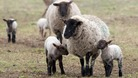 Vaccine authorised against Schmallenberg virus