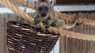 Monkey born at Twycross Zoo.