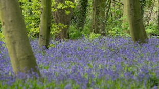Bluebells in Wanstead Park, East London.
