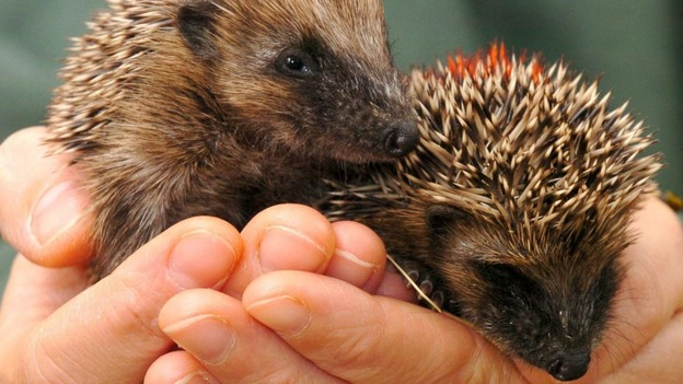 Hedgehogs are struggling in the face of threats from humans and climate change.