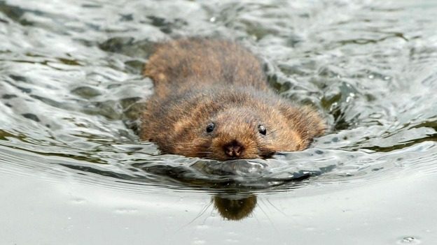 Water voles saw their numbers plummet by 90% in recent years due to destruction of their habitat.