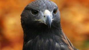 The golden eagle mainly lives in the moorlands and mountains of Scotland.