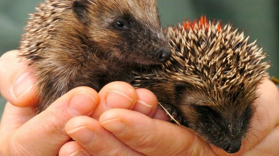 British hedgehogs have declined in numbers