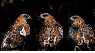 Red Kites wait to be released