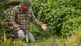 A gardener checks the purple flower of a Helleborus orientalis