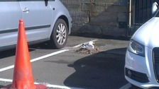 Protected seagulls nest in Newcastle car park