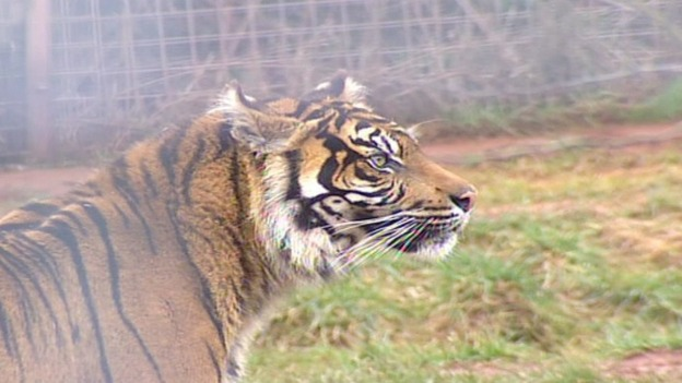 One of the tigers at South Lakes Wild Animal Park