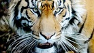 Woman dies after tiger attack
