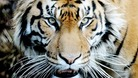 Female zoo keeper dies after tiger attack