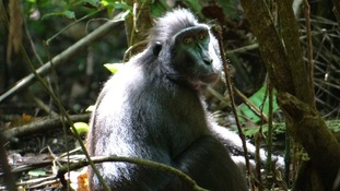 Black macaque in wild
