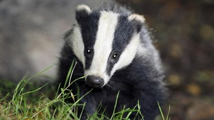 Around 5,000 badgers could be killed in two pilot culls.