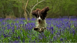 Dog leaping through a carpet of bluebells