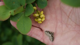 Barberry plant and Barberry carpet moth.
