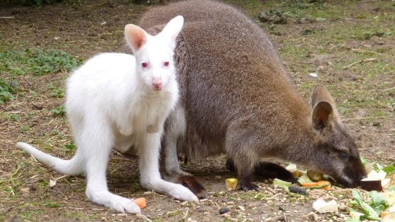 An albino wallaby joey