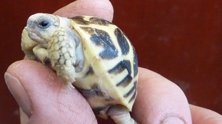 An Indian Star tortoise hatchling