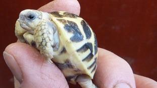 An Indian Star tortoise hatchling