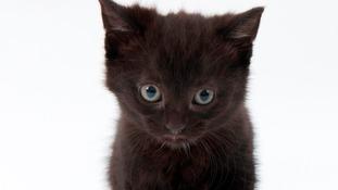 Brenda the 24-toed kitten