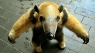 Friendly anteater gets minder