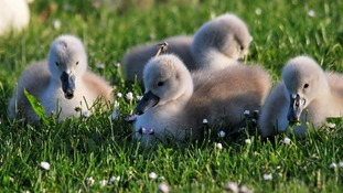 Cygnets waiting for mum