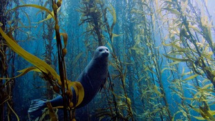 Overall Winner: Harbor seal in a kelp forest at Cortes bank, near San Diego, California
