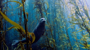 Harbor seal (Phoca vitulina) in a kelp forest at Cortes bank, near San Diego, California