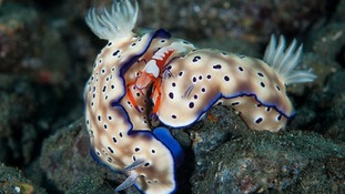 Second place, Macro: An emperor shrimp on two nudibranches at Dinah's Beach, Papua New Guinea