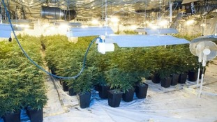 Cannabis plants in a disused social club in Medway