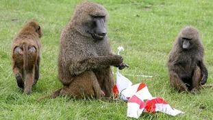 Safari park baboon shot dead after escape