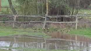 Ducks in Kent