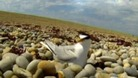 Big trouble for Little Terns