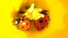 Ladybirds in a flower