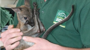 Orphaned Wallaby sleeps in pillowcase