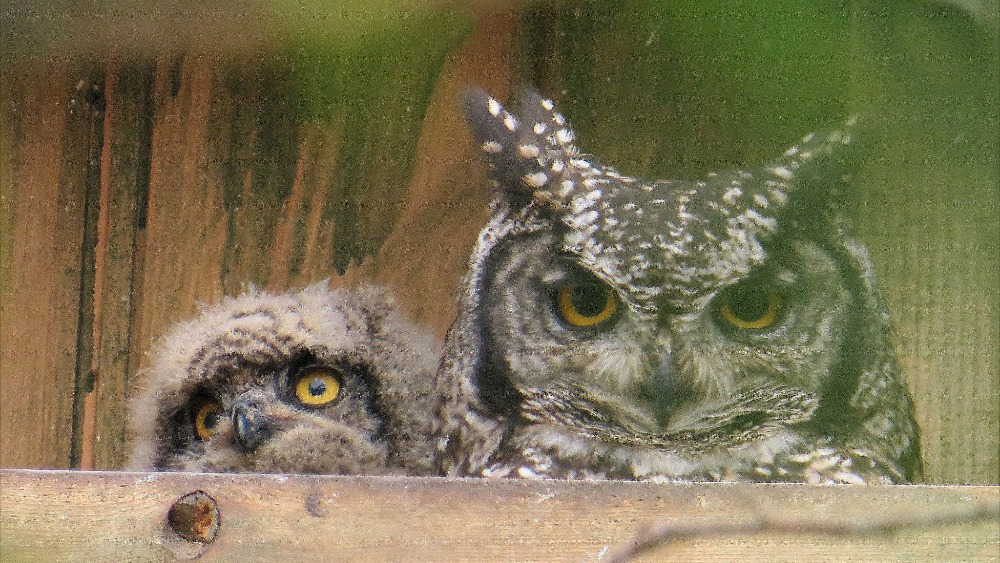 Eastern Screech-Owl Life History, All About Birds, Cornell ...