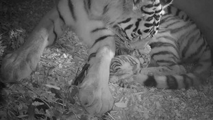 Keepers monitor the progress of the twins by CCTC cameras