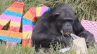 Chimp turns 40 to become the oldest swinger in town