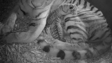 Female Amur tigress, Sveta and her two cubs