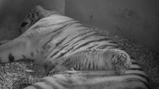 Banham Zoo's female Amur tigress, Sveta asleep with one of her cubs