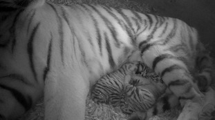 The tiger cubs have not been named yet as it's still too early to know what sex they are