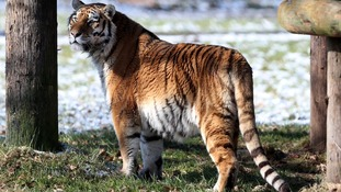 Amur Tigers are listed as an endangered species by International Union for the Conservation of Nature