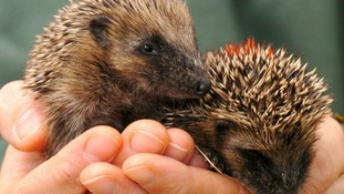 More warnings our hedgehogs are in trouble